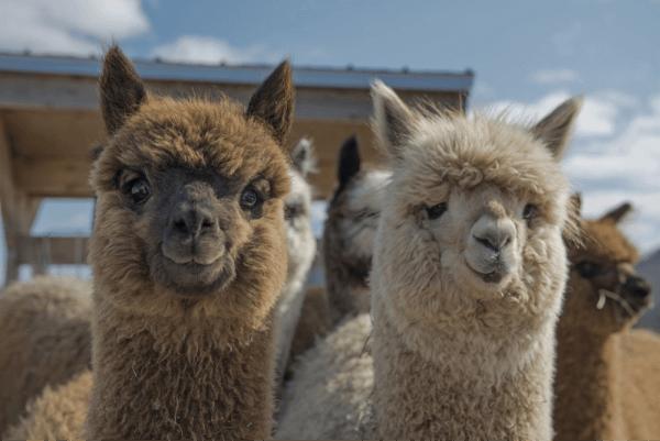 baby-alpaca-wool 1 (1)